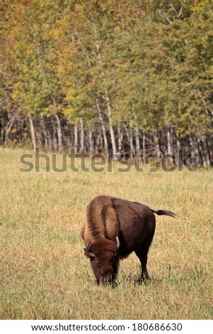 Bison grazing in scenic Central Saskatchewan - stock photo