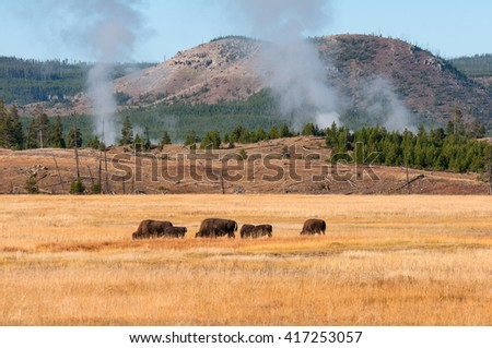 Bison grazing near a thermal area in Yellowstone National Park Wyoming.