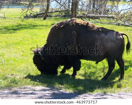 Bison Grazing Near Yellowstone River in Yellowstone National Park