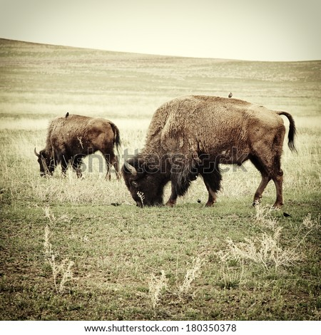 Bison grazing. Processed to look like an old 19th century image of the  - stock photo