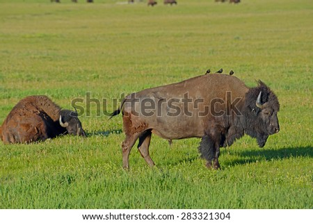 Bison grazing while birds ride his back. - stock photo