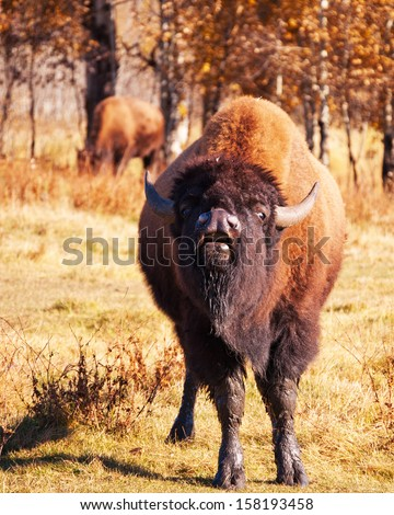 Bison grunting - stock photo