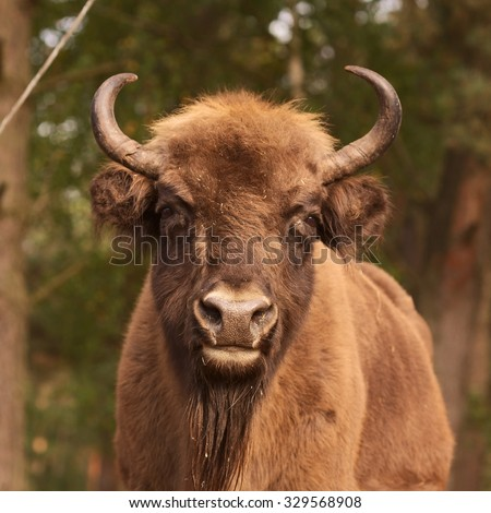 Bison head from the Bialowieza Forest - stock photo