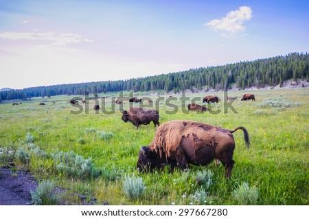 Bison Herd - stock photo