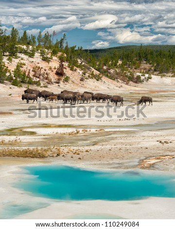 Bison herd behind the Colloidal Pool at the Norris Geyser Basin in Yellowstone National Park, Wyoming - stock photo