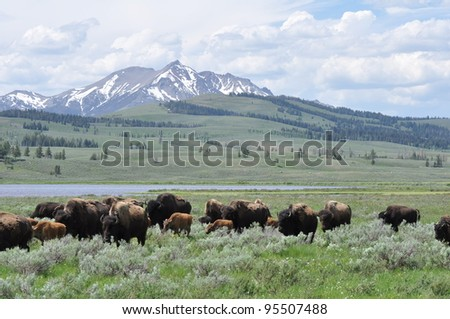 Bison herd in a valley in Yellowstone National Park, Wyoming