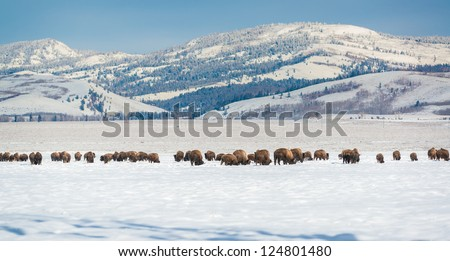 Bison Herd with Grand Teton Range in Background - stock photo