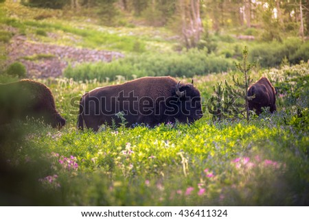 Bison in a field of wildflowers - stock photo