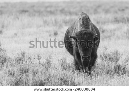 Bison in Black and White - stock photo