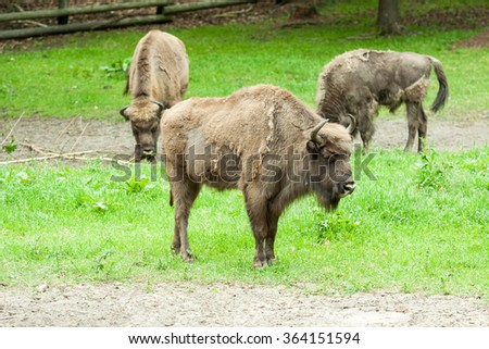 Bison in captivity at the zoo