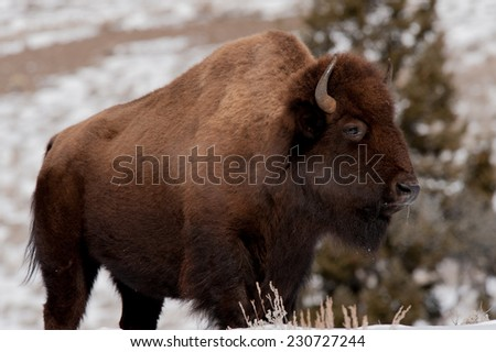 Bison in cold winter weather in Yellowstone National Park, breath showing, facing right - stock photo