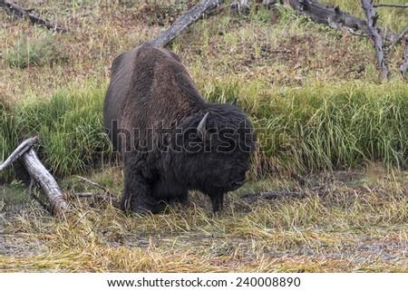 Bison in Marsh - stock photo