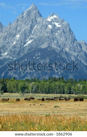 Bison in the grand tetons - stock photo