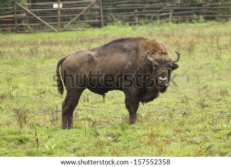 Bison in the Hateg Natural Reservation from Romania