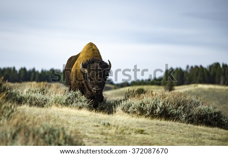 Bison in the wild - stock photo