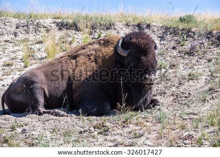 Bison in Yellowstone National Park, Wyoming, USA