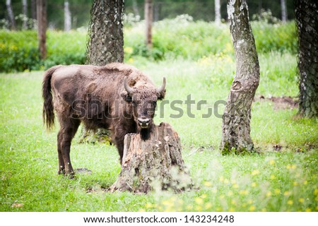 Bison lying on the grass - stock photo