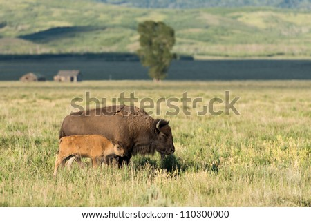 Bison off Antelope Flat Road in Grand Teton National Park near Jackson, Wyoming - stock photo