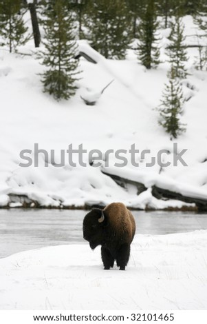 Bison on the Madison River in Yellowstone National Park - stock photo