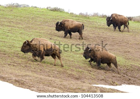 Bison on the move in Yellowstone National Park - stock photo