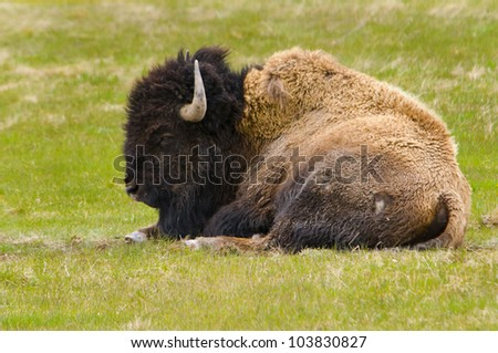 Bison Resting in Yellowstone National Park