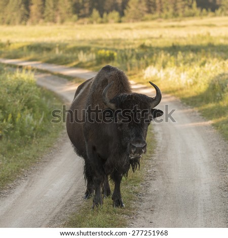 Bison standing on a dirt road, Lake Audy Campground, Riding Mountain National Park, Manitoba, Canada - stock photo