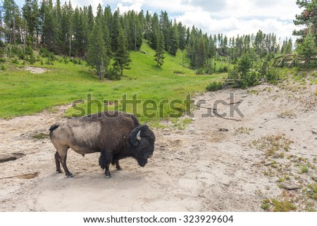 bison stay and moving  in Geyser area in Yellowstone National Park,Wy,Usa. - stock photo