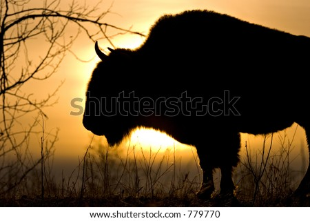 Bison Sunrise - stock photo