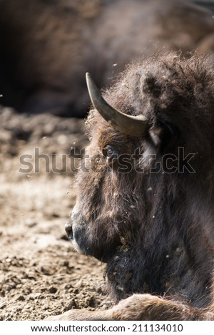 bison take a mud bath  Prioksky-terraced reservation, Russia - stock photo