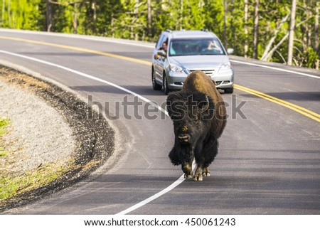 bison walk on the road in the morning in Yellowstone national park,usa.