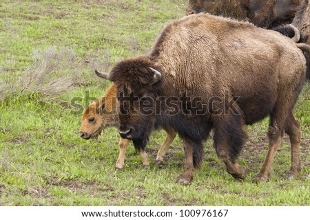 Bison with Calf in Yellowstone National Park