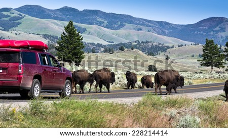 Bison - Yellowstone National Park  - stock photo