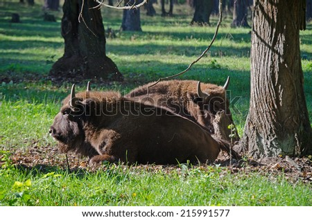 Bisons in reserve near Moscow