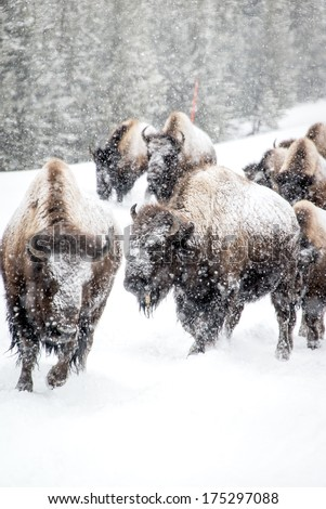 Bisons in Yellowstone National Park Winter - stock photo