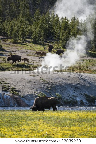 Bisons in Yellowstone National Park, Wyoming, United States - stock photo