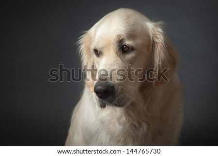 Bit sad looking but cute Golden Retriever - stock photo
