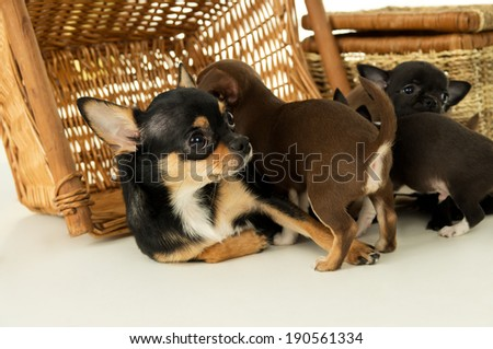 Bitch feeds chihuahua puppies - stock photo