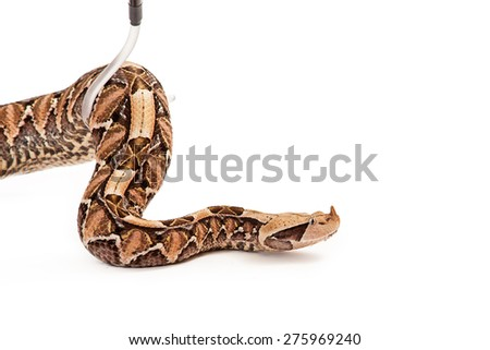 Bitis gabonica, known as a Gaboon Viper Snake which is commonly found in Africa being picked up with a hook by a trained handler - stock photo