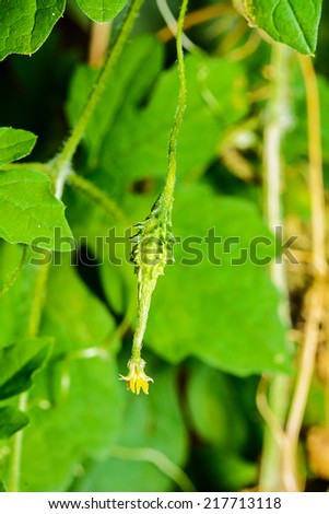 Bitter gourd is a vine in vegetable garden. - stock photo