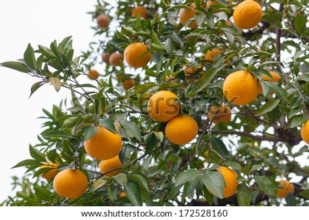 Bitter orange fruits on a tree (Citrus aurantium var. daidai) - stock photo