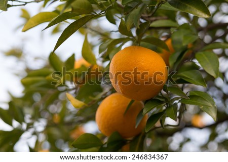 Bitter orange fruits on a tree (Citrus aurantium var. daidai) - with copy space