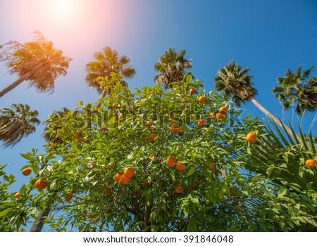Bitter orange trees and the sky in Adana Turkey - stock photo