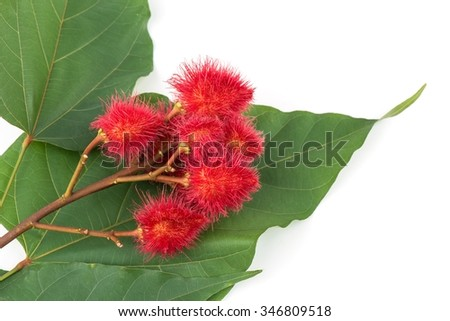 Bixa orellana or Anatto tree in the garden.  - stock photo