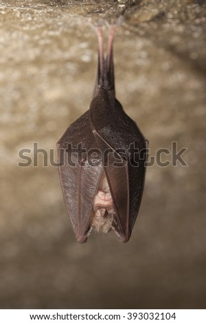 Bizarre horseshoe bat covered by wings, hanging on the top of the cave while hibernating. Wildlife photography. - stock photo