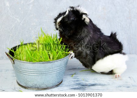 Blacck guinea pig near vase with fresh grass. Studio foto.