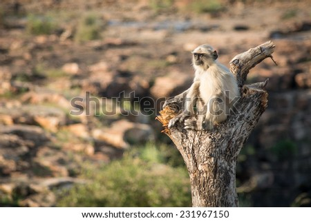 Blace faced monkey, grey langur sitting on a tree in Rajasthan - India