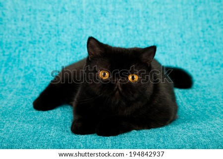 Black adult Exotic cat lying on blue background