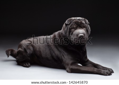Black adult shar pei over black and grey background