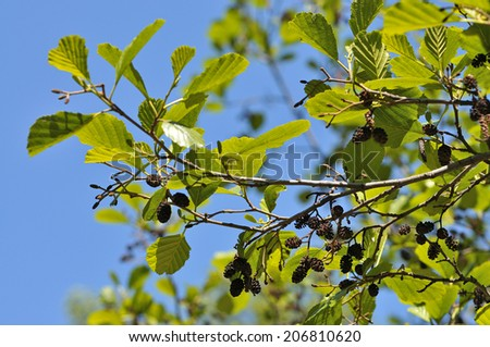 Black alder - Alnus glutinosa - stock photo