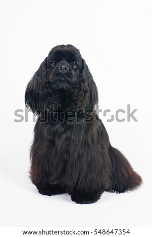 Black American Cocker Spaniel dog sitting indoors on a white background